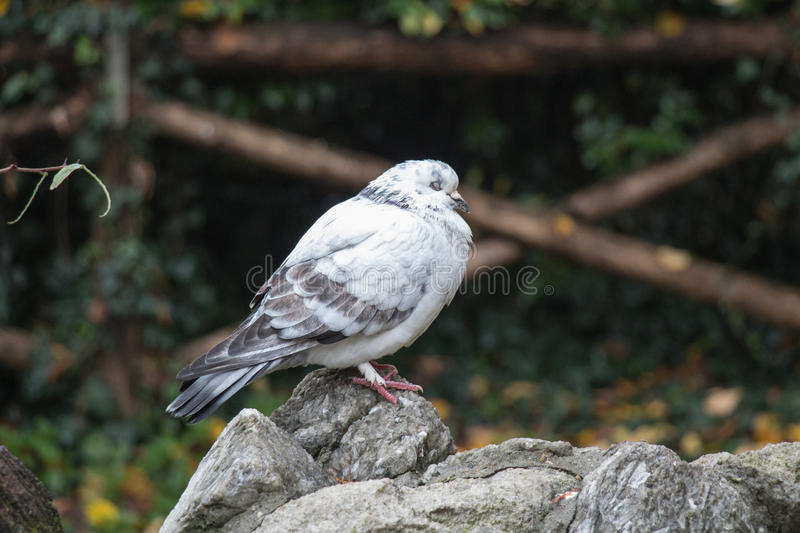 White and grey feathered pigeon sitting on a rock closed his eyes. royalty free stock images