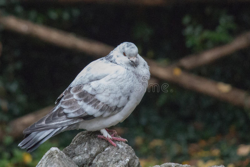 White and grey feathered pigeon sitting on a rock. royalty free stock images