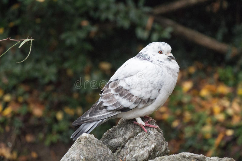 White and grey feathered ruffled up pigeon sitting on a stone. stock image