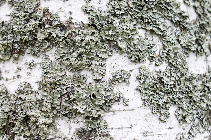 White grey lichens on birch bark closeup. Nature macro. Rustic wooden background. White grey lichens on birch bark closeup. Nature macro. Rustic wooden royalty free stock photos