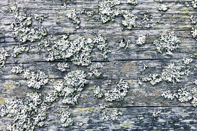 White grey lichens on old wooden surface closeup. Nature macro. Rustic wooden background. White grey lichens on old wooden surface closeup. Nature macro. Rustic royalty free stock photos