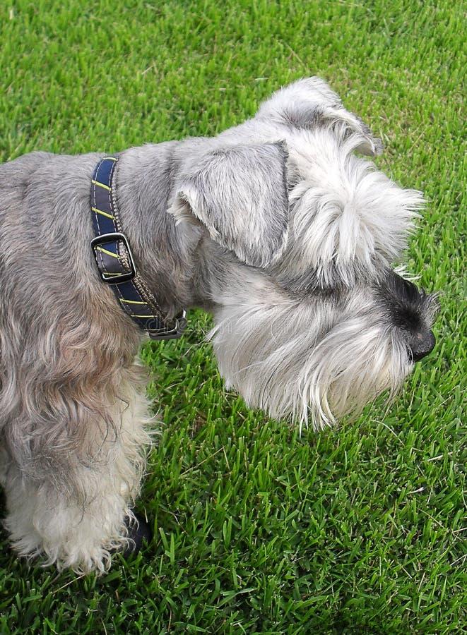 White and Grey Long Coat Dog royalty free stock image