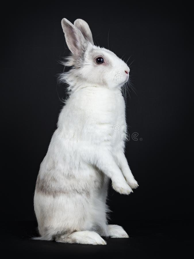 White with grey rabbit on black background stock images