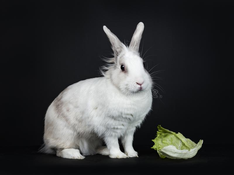 White with grey rabbit on black background. White with grey rabbit sitting side ways next to piece of lettuce isolated on black background looking at camera royalty free stock photography