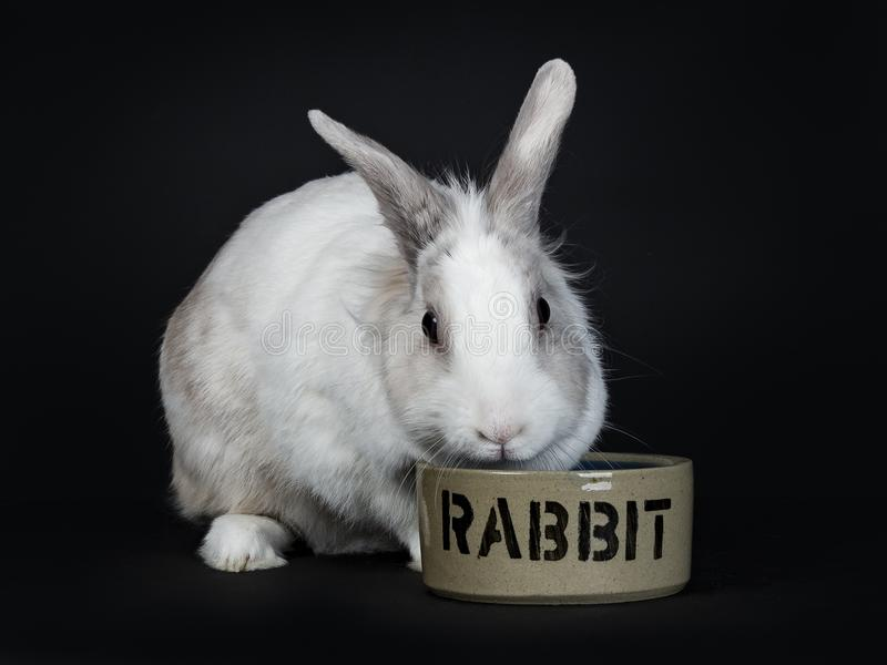 White with grey rabbit eating stock photo