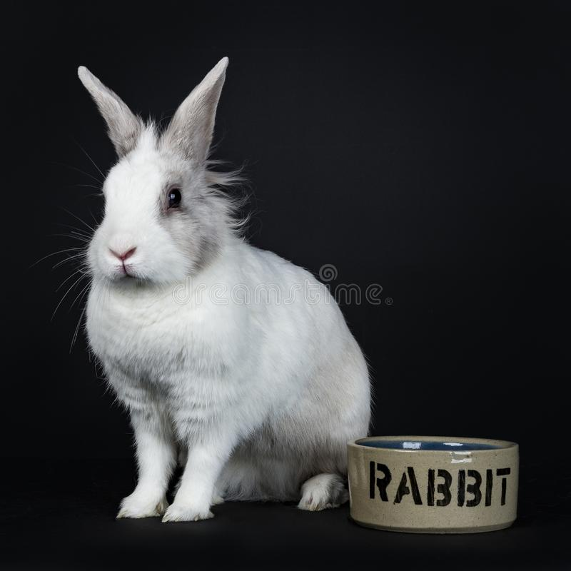 White with grey rabbit on black background. White with grey rabbit sitting beside keramic bowl on black background looking side ways stock photography