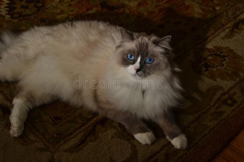 White and grey ragdoll cat with bright blue eyes. A fluffy puffy white and grey ragdoll cat with bright blue eyes stock images