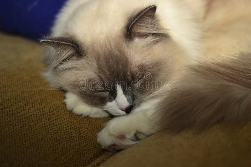 White and grey ragdoll cat with bright blue eyes. A fluffy puffy white and grey ragdoll cat with bright blue eyes royalty free stock photography