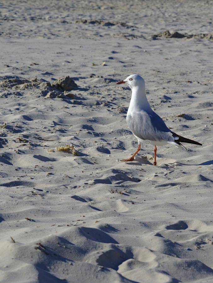 White Grey Seagull on beach sand. On sunny day stock photos
