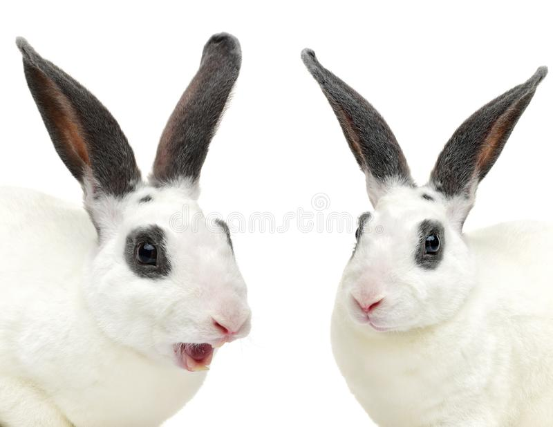 white with grey shorthair bunny laying down side ways royalty free stock images