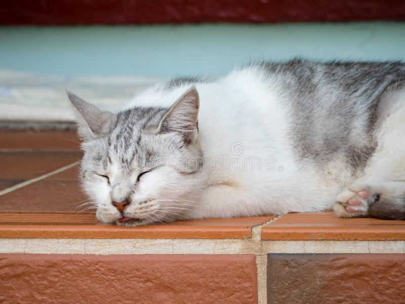 White and grey tabby cat sleeping on step with tongue out. White and grey tabby cat sleeping on step with eyes closed and tongue hanging out stock photos