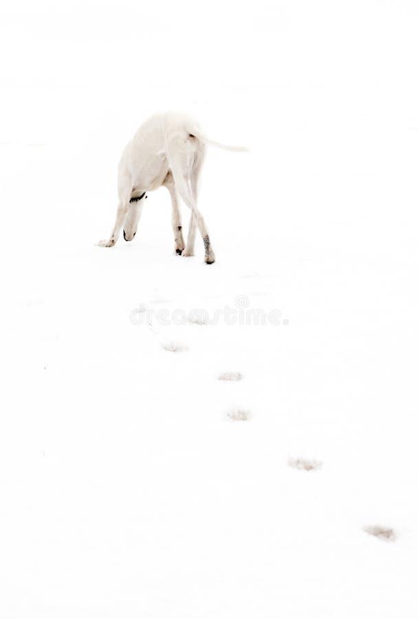 White greyhound hunting