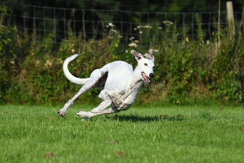 White greyhound running stock images