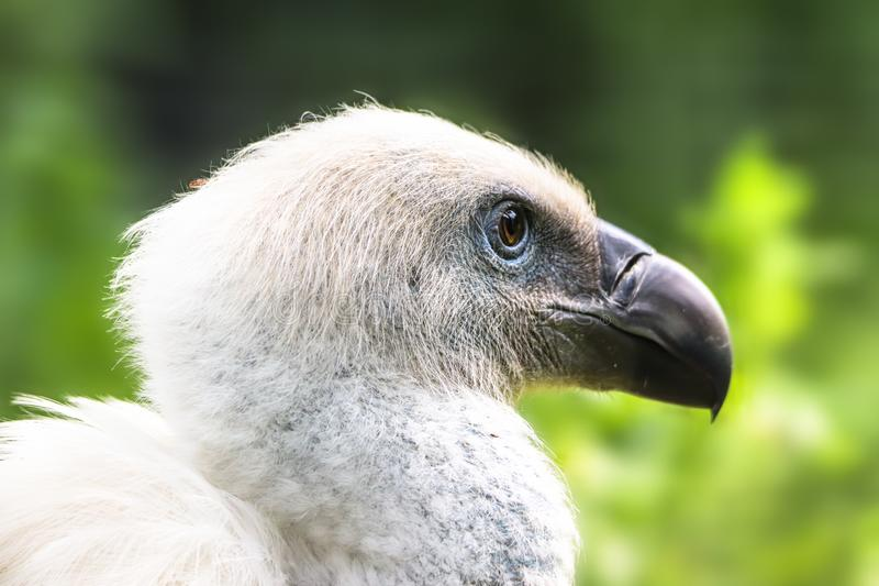 White Griffon Vulture bird close up profile portrait. White  Eurasian Griffon Vulture Gyps fulvus with trees forest out of focus stock photo