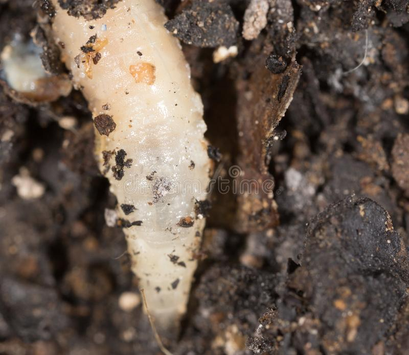 White grubs in nature. macro stock photos