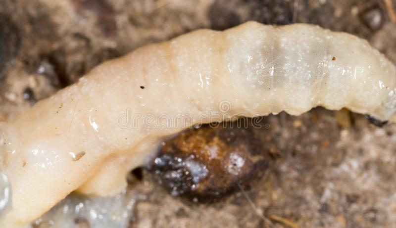 White grubs in nature. macro stock image