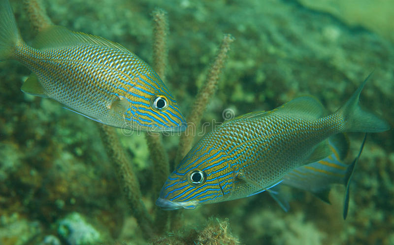 White Grunts-Haemulon plumieri. White Grunts on a reef, picture taken in Broward County, Florida stock photography