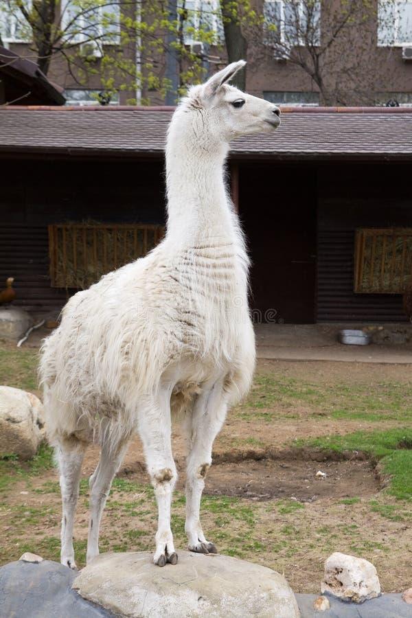 Download White guanaco stock photo. Image of fauna, furry, wool - 19595710