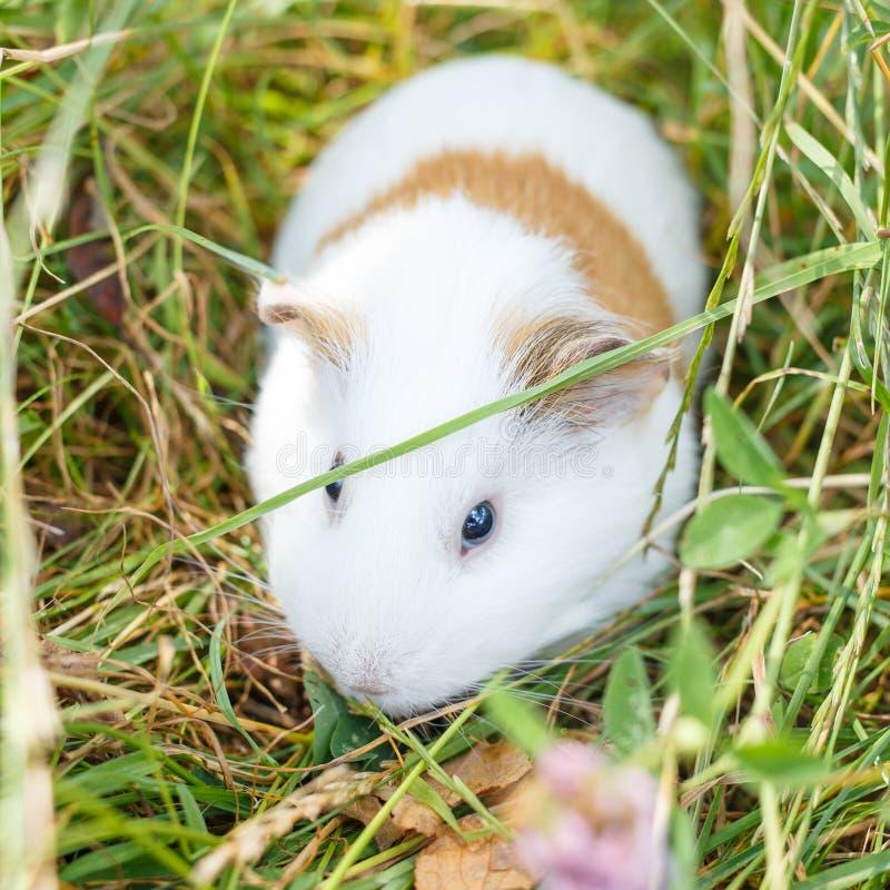 Guinea Pig Eating Grass Stock Photo. Image Of Adventurous