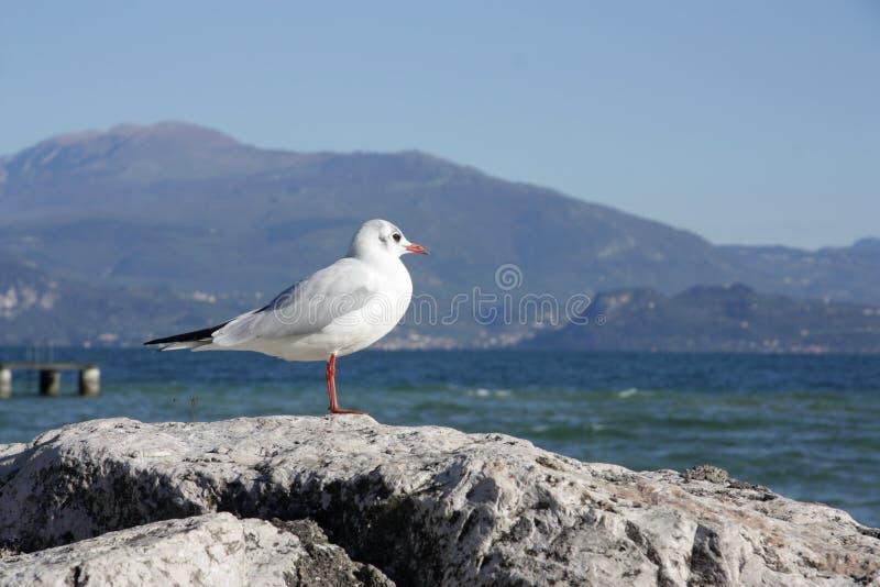 The white gull basks on the rocks. White gull basks on the rocks in the morning sun royalty free stock photography