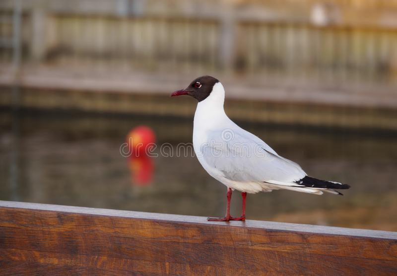 White gull with black head close-up on the wooden parapet of the embankment. White gull with black head close-up on the wooden parapet stock photo