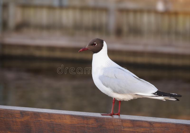 White gull with black head close-up on the wooden parapet of the embankment. White gull with black head close-up on the wooden parapet stock image