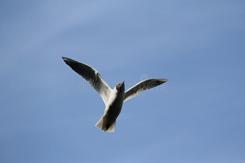 White gull with black head. White gull with a black head with a dark red beak in flight with wings flapped against the blue sky stock image
