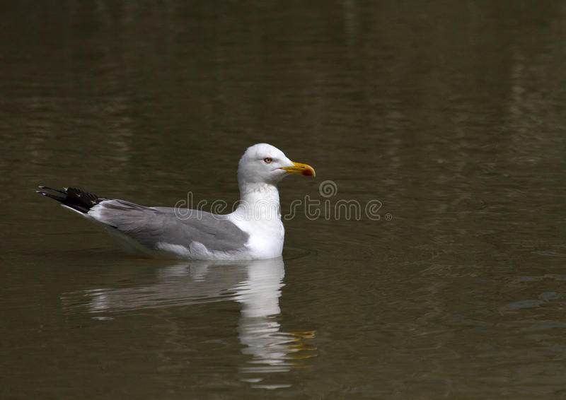 White gull. A White gull in Camargue at Pont-de-Gau - Provence France stock image