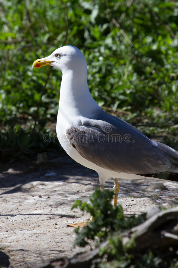 White gull. A White gull in Camargue at Pont-de-Gau - Provence France royalty free stock photo