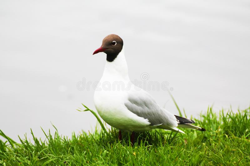 White gull flaunts on the background of green grass and water.  stock photos