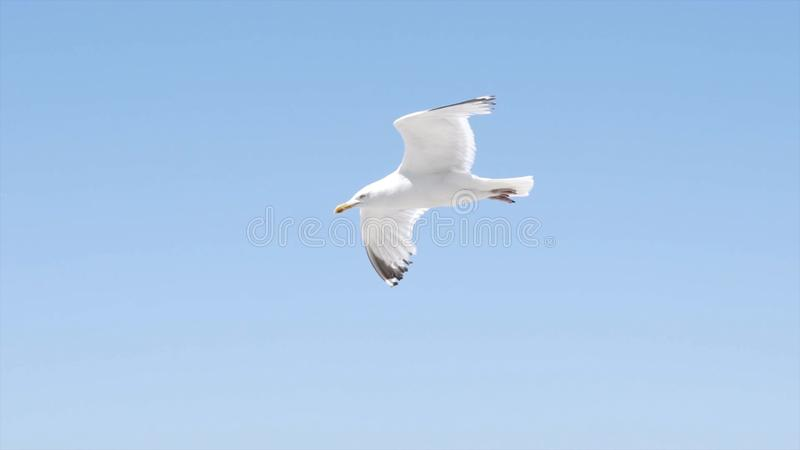 White gull flies on background of blue sea with rocky coast. Action. Flight of white seagull in clear sky on background. Of sea landscape with rocks is stock image