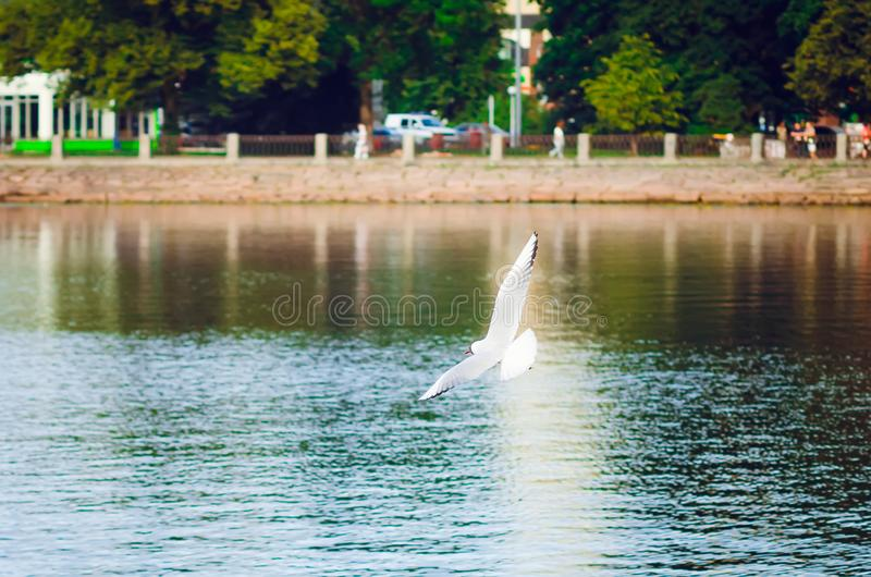 White gull flies over the city lake. Beautiful summer background. Close-up royalty free stock photo