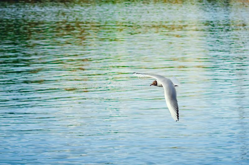 White gull fly over the water on a summer day. Close-up royalty free stock images