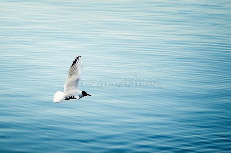 White gull fly over the water on a summer day. Close-up stock images