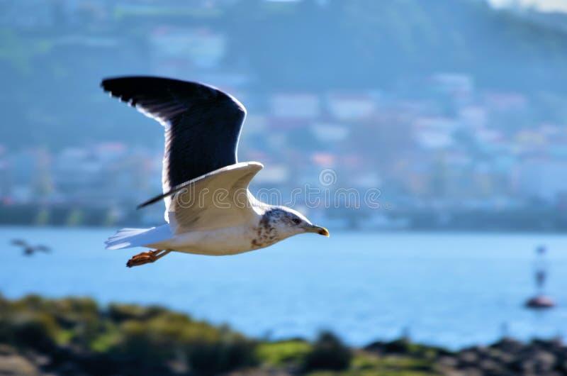 White gull flying stock images