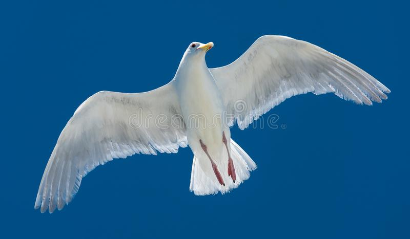 A white gull flying in sky. This is a photograph of a white gull flying in sky royalty free stock photos