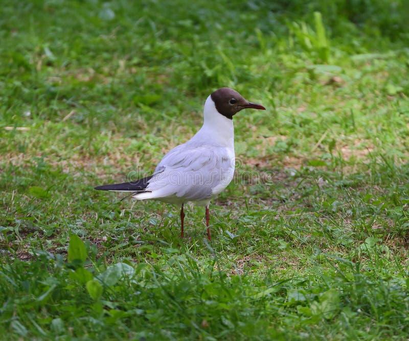 White gull in green lawn grass. A white gull in green lawn grass stock photo