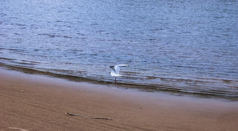 White gull on the river bank opens its wings. In summer royalty free stock photography