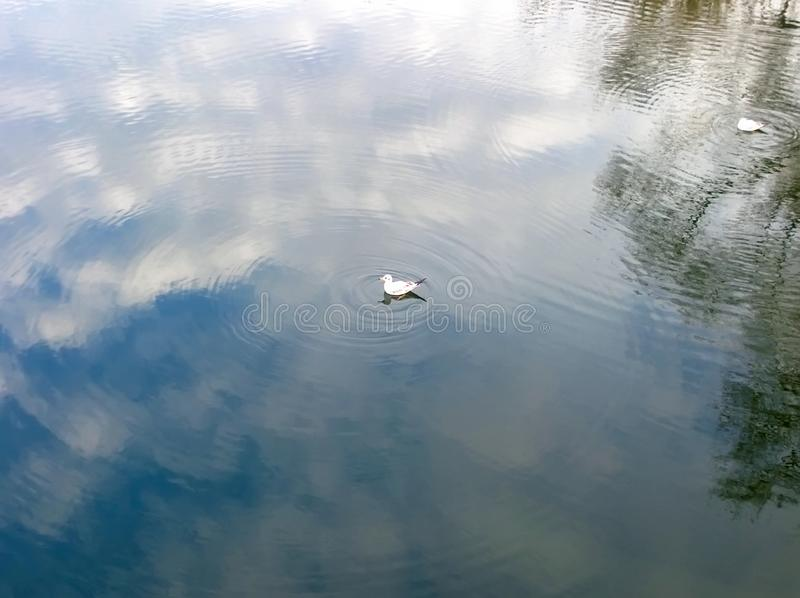 White gull swims. In the pond, from it emerge circles on the water, where the blue sky and clouds are reflected royalty free stock photos