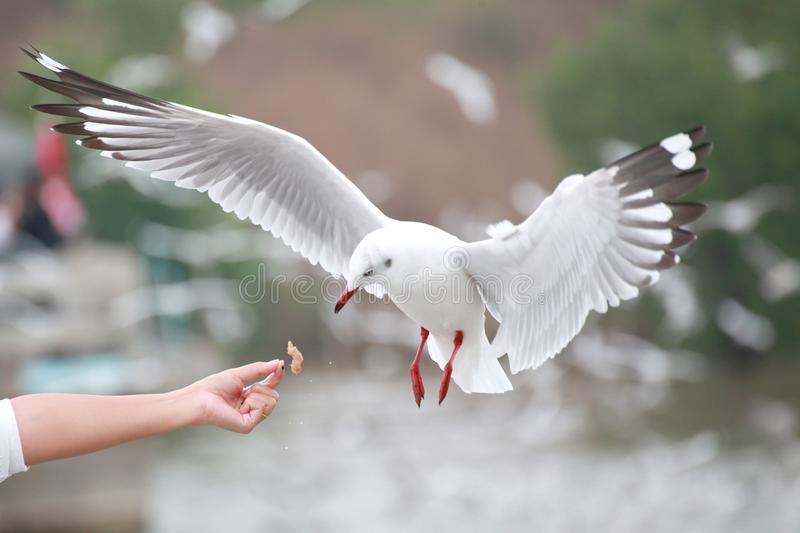 The white gulls are hovering. At the hands of tourists Bangpu Th. The white gulls are hovering royalty free stock images