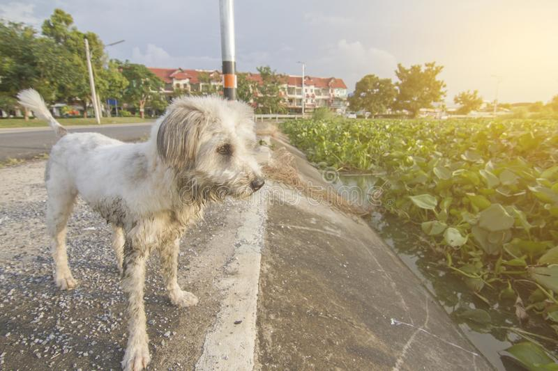 The white-haired dog has been abandoned. The dirty body has a sad face. In Thailand royalty free stock photo