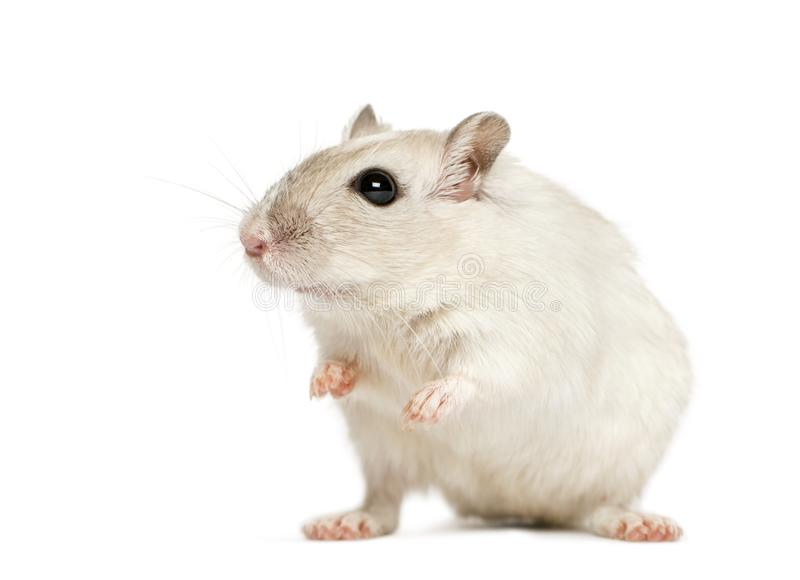 White hamster sitting, isolated stock image