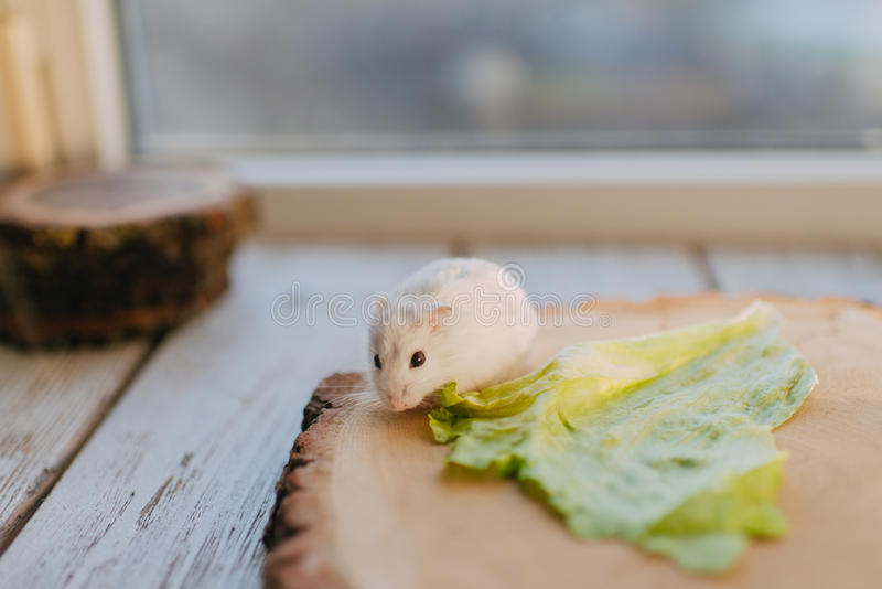 White hamster on the wooden beam royalty free stock image
