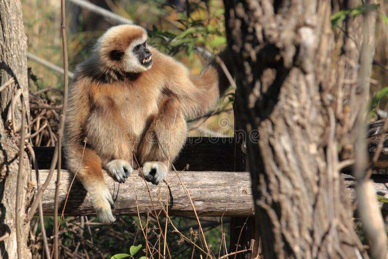 Download White-handed gibbon stock image. Image of mammal, hylobates - 21746689