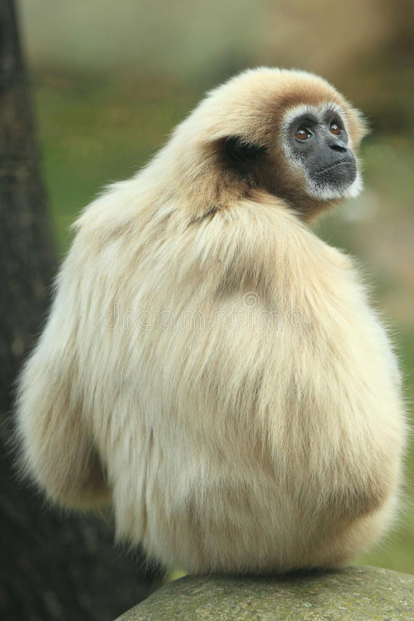 White-handed gibbon. The whte-handed gibbon sitting on the rock stock photos