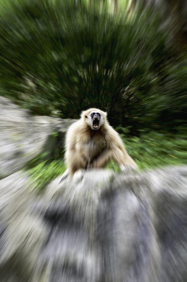 White-handed gibbon in aggressive behavior stock photo