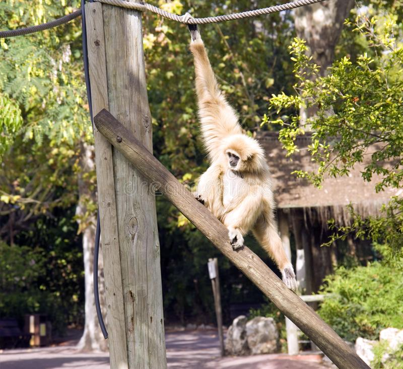 White-handed Gibbon animal mammal Primate reserve, carnivore. White-handed Gibbon endangered cream wool long strong arms the tropics royalty free stock photo