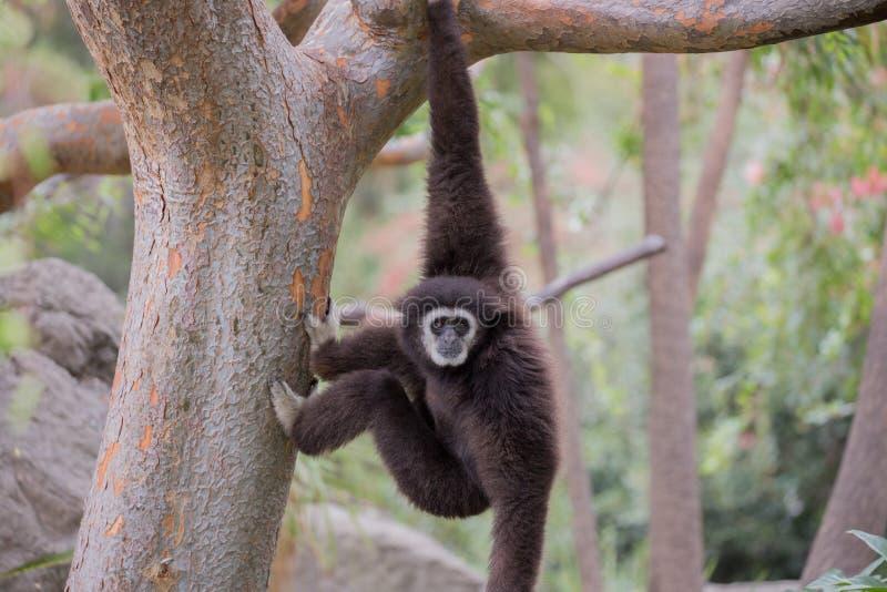 White-handed Gibbon (Hylobates lar) hanging on a tree. royalty free stock photo