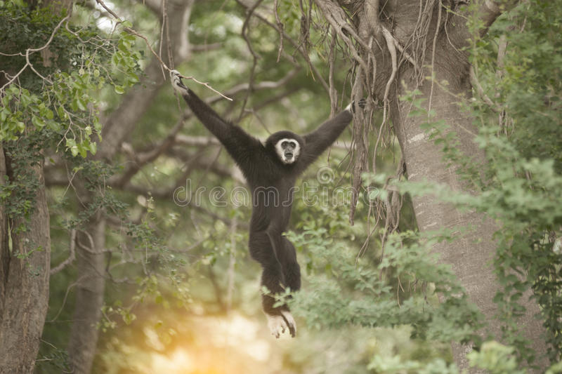 A white-handed gibbon Hylobates lar hunging on tree. stock photos