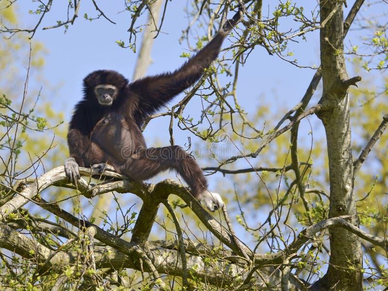 White-handed gibbon in tree stock image